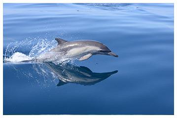 Dolphins Swim